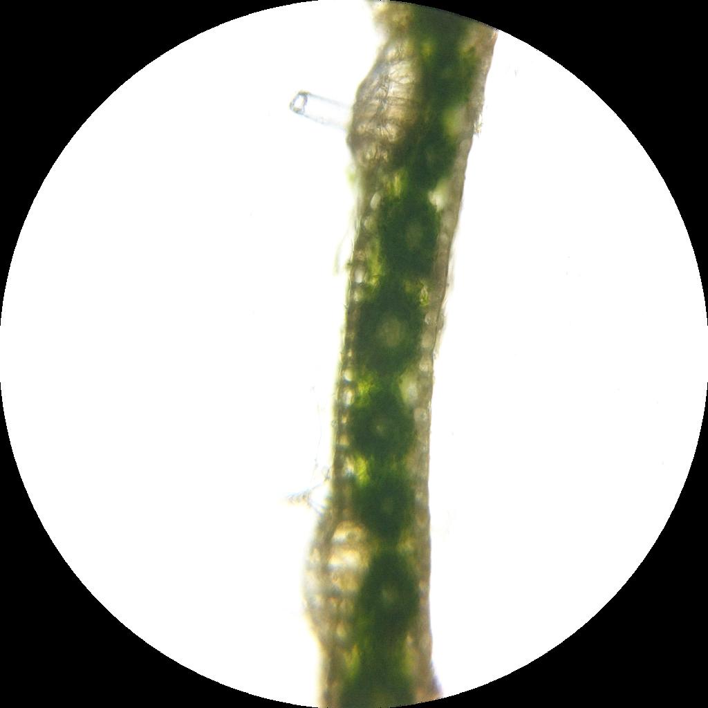 Filezea Mays Leaf Kranz Anatomy 2 200g Wikimedia Commons