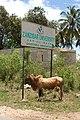 Zebu Zanzibar.jpg