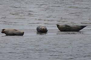 Zeehonden op Vondelinsgplaat, Oosterschelde 25.jpg