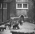 Zes zwarte pups in Artis geboren Moeder wolf met de zes kleintjes, Bestanddeelnr 915-2802.jpg