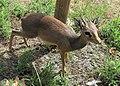 Zoo d'Arcachon - Dik-dik de Kirk - 2014-07-19 - img 2427 v1.jpg