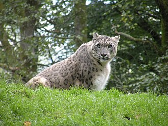 Canton of Aunay-sur-Odon - Snow leopard in Zoo of Jurques