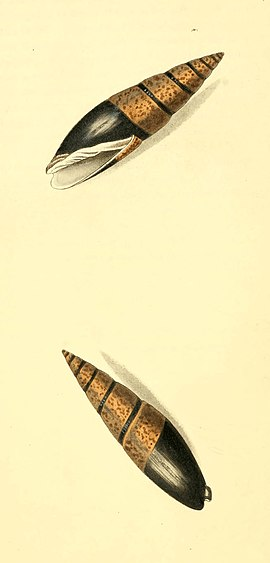 Zoological Illustrations Volume I Plate 3.jpg