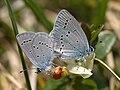 Zwerg-Bläuling Cupido minimus Ramsau - Halsalm Ramsau-001.jpg