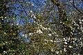 'Crataegus' hawthorn tree blossom at Great Canfield, Essex, England.jpg
