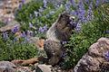 (2) Marmota caligata (Hoary Marmot).jpg