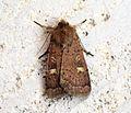 (2134) Square-spot Rustic (Xestia xanthographa) - Flickr - Bennyboymothman (2).jpg