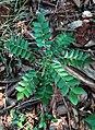 (Murraya koenigii) curry leaf plant at Kambalakonda Eco park.jpg