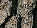 Świerklaniec Populus alba bark2 12.06.2010 p.jpg