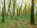 Šuma poljskog jasena (Fraxinus angustifolia) Narrowed-leaved ash forest.jpg