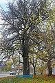 Вікове дерево груші, пр. Перемоги 123.jpg