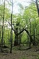 Вікові дуби, Голосіївський район Головна астрономічна обсерваторія НАНУ 01.JPG