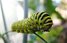 One of the winning photographs: A common swallowtail caterpillar (Papilio machaon) in Matka Canyon