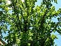Дуб черешчатий чорноглазівський.jpg