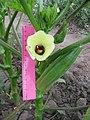 Квітка і молоді плоди бамії - Дніпро - 29 липня 2020 року.jpg