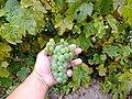 Крупный зеленый дальневосточный виноград ф5.JPG