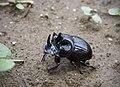 Лунный копр - Copris lunaris - Horned Dung Beetle - Торен носорог - Mondhornkäfer (23130651886).jpg