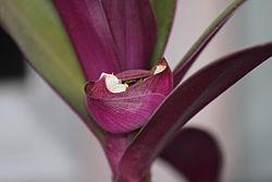 рео цветок википедия