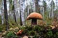 Рязанская область.Подосиновик в осеннем лесу.JPG