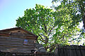 Старый дуб у Домика Каширина.jpg