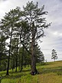 Таёжный лес в районе Старой Табаги.JPG