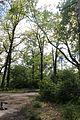 Тюльпанове дерево IMG 7729.jpg