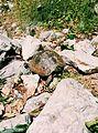 Черепаха в Тахтали.jpg