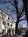 Шулявський дуб 02.JPG