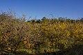 انار-باغ انار-Pomegranate-Pomegranate garden 02.jpg