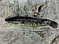গৰৈ মাছ goroi.jpg
