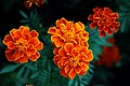 ดาวเรืองฝรั่งเศส ( French Marigolds ) (6).jpg
