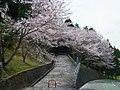 下市町新住 八幡神社入口の桜 Cherry blossoms in front of Hachiman-jinja, Atarasumi 2012.4.15 - panoramio.jpg