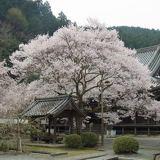 吉野町飯貝 本善寺にて「懐の桜」 Omoi-no-sakura 2012.4.10 - panoramio