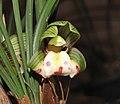 春蘭珍蝶 Cymbidium goeringii 'Small Butterfly' -香港沙田國蘭展 Shatin Orchid Show, Hong Kong- (12316832793).jpg