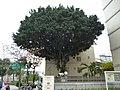 氣象局南部中心大樓旁的大榕樹 - panoramio.jpg