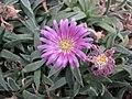 沙座蘭 Delosperma sutherlandii -英格蘭 Wisley Gardens, England- (9200932626).jpg