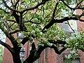 流蘇樹 Chionanthus retusus - panoramio.jpg