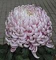 菊花(疊球型)-紫辰閣 Chrysanthemum morifolium Ball-ribbon-series -香港圓玄學院 Hong Kong Yuen Yuen Institute- (9198170193).jpg