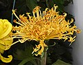 菊花-龍爪型 Chrysanthemum morifolium Dragon-claw-series -上海共青森林公園 Shanghai, China- (9213339631).jpg