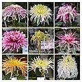 菊花 Chrysanthemum morifolium cultivars 3 -上海共青森林公園 Shanghai, China- (12116179156).jpg