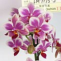 蝴蝶蘭 Phalaenopsis Purple Princess x Chienlung Moonlight -台南國際蘭展 Taiwan International Orchid Show- (39129451830).jpg