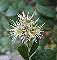 西班牙黃楊 Buxus balearica -香港公園 Hong Kong Park- (31313860066).jpg