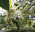 金帝冬青 Ilex altaclerensis Golden King -比利時 Ghent University Botanical Garden, Belgium- (9240255392).jpg