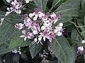 黃常山屬 Dichroa versicolor -倫敦植物園 Kew Gardens, London- (9198102143).jpg