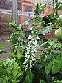 -2019-07-20 Basil flowers (Ocimum basilicum), Trimingham (2).JPG