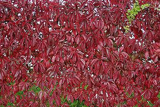 - Parthenocissus quinquefolia 01 -.jpg