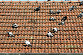 - Roof with pigeons -.jpg