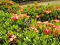 09019jfClose-ups of butterflies on flowers Bulacanfvf 05.jpg