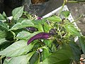 0998Ornamental plants in the Philippines 16.jpg
