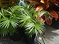 0998Ornamental plants in the Philippines 52.jpg